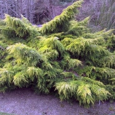 Juniperus x pfitzeriana 'Carbery Gold' Conifer