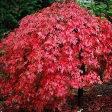 Acer palmatum dissectum 'Ever Red' Tree