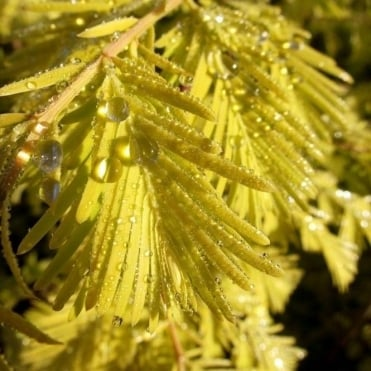 Metasequoia glyptostroboides 'Gold Rush' Tree
