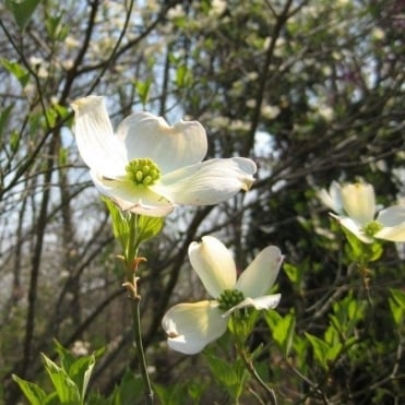 Cornus Florida Cherokee Princess Tree