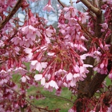 Prunus Okame Tree