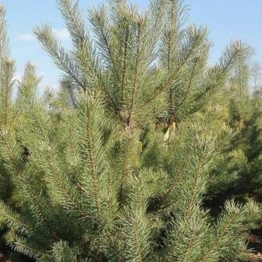 Pinus sylvestris Conifer