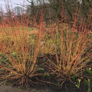 Cornus sanguinea 'Midwinter Fire' Shrub