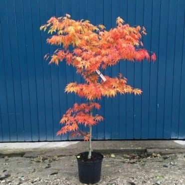 Acer palmatum 'Westonbirt Orange' Tree