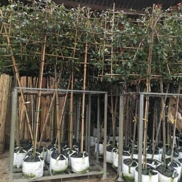Pleached Photinia × fraseri 'Red Robin' Tree
