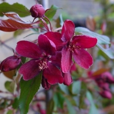 Malus 'Royalty' Tree