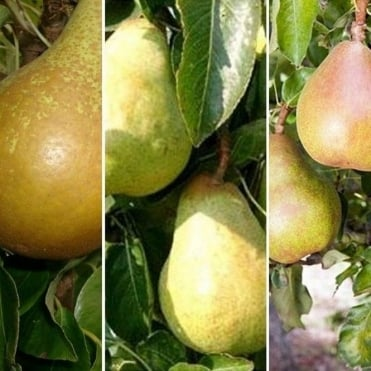 Family Pear Tree | Conference, Williams' & Comice Pear