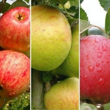 Family Apple Tree | Cox Self Fertile, James Grieve & Katy Apple