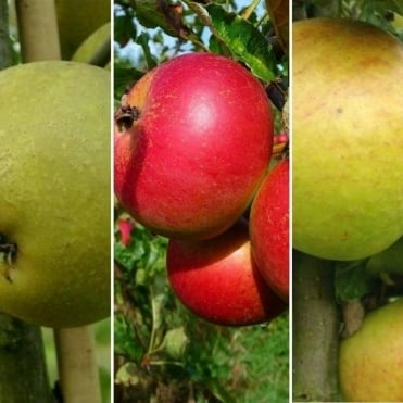 Family Apple Tree | Cox Self Fertile, Herefordshire Russet & Fiesta Apple