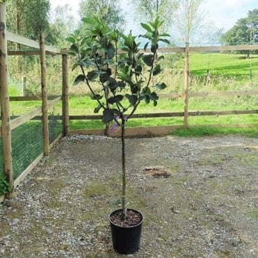 Family Apple Tree | Bramley 20, Christmas Pippin & Scrumptious Apple