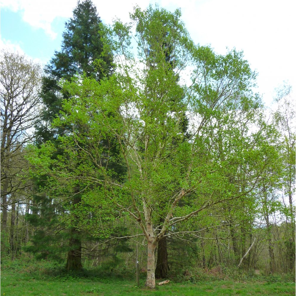Betula ermanii ermans birch tree buy erman s birch for Purchase trees