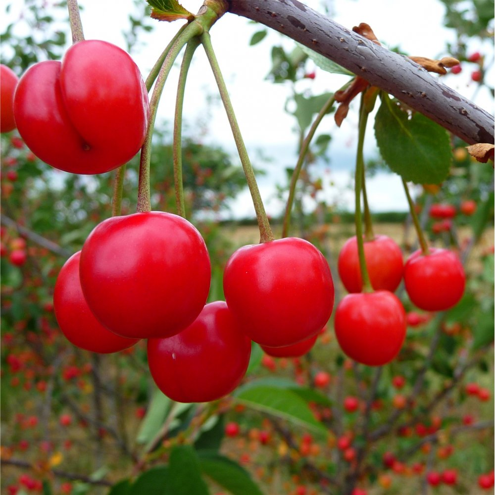 Morello cherry tree buy cherry trees cherry fruit trees for Fruit trees
