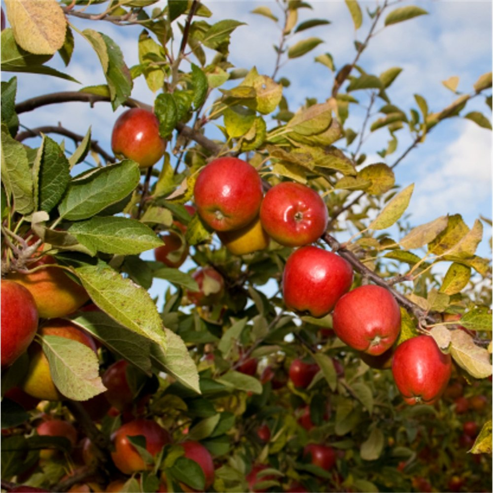Apple Braeburn Hillwell | Buy Braeburn Apple Trees Online
