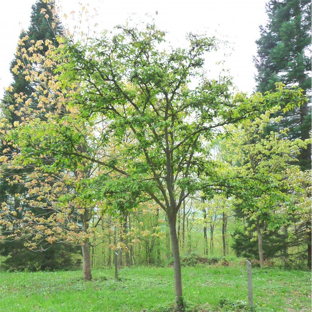 Prunus kursar buy cherry blossom flowering cherry trees for Small ornamental trees