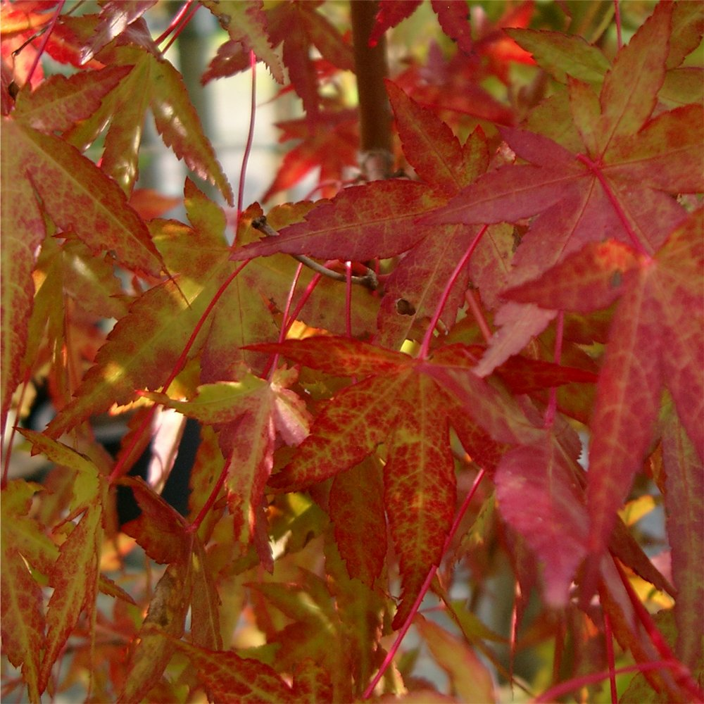 acer palmatum katsura japanese maple tree buy dwarf. Black Bedroom Furniture Sets. Home Design Ideas