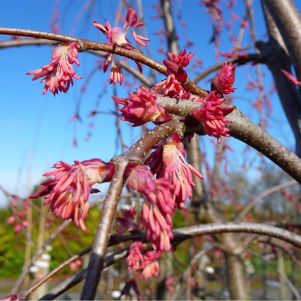 Cercidiphyllum Japonicum Pendulum Weeping Katsura Trees