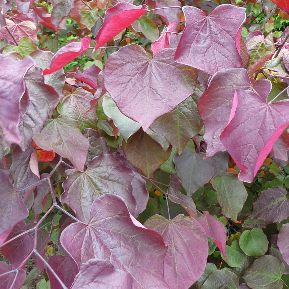 Cercis canadensis forest pansy redbud trees shrubs for Small tree varieties