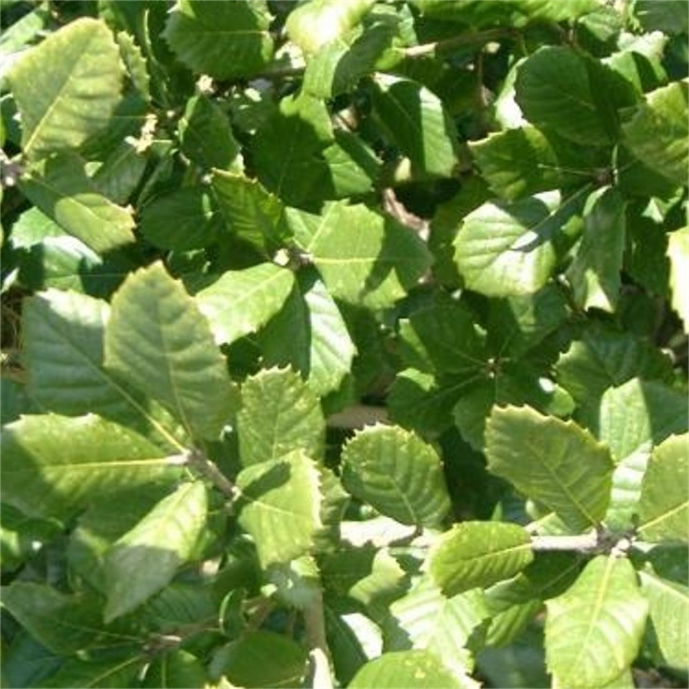 Quercus ilex evergreen holm oak trees for sale for The evergreen
