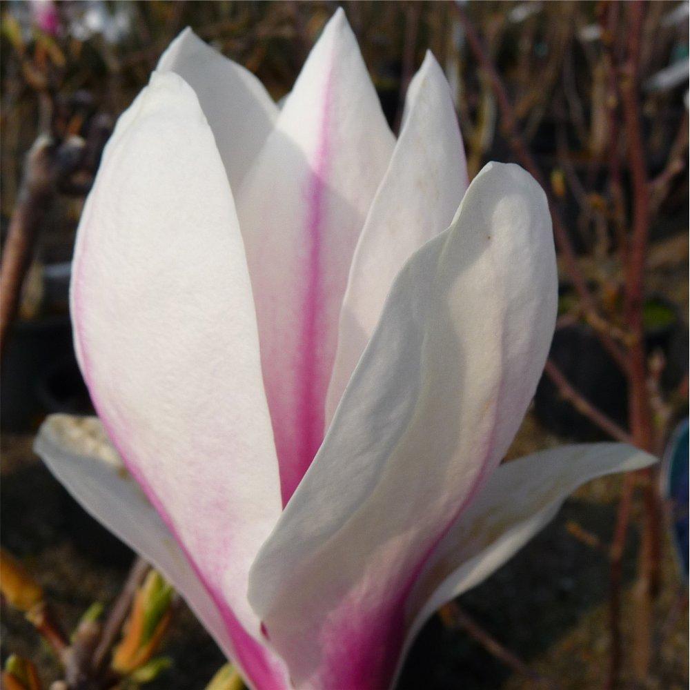magnolia x soulangeana buy white tulip magnolia trees. Black Bedroom Furniture Sets. Home Design Ideas