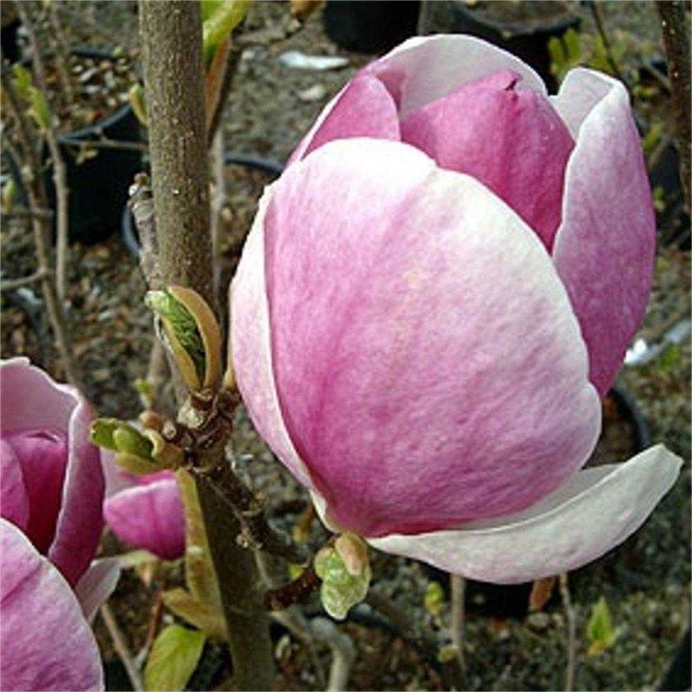 magnolia soulangeana lennei buy pink tulip magnolia tree. Black Bedroom Furniture Sets. Home Design Ideas
