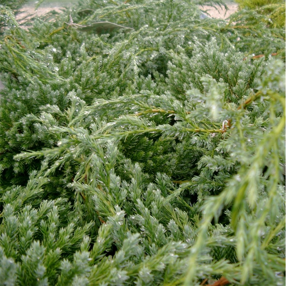 Ornamental evergreen trees - Juniperus Squamata Blue Carpet Conifer
