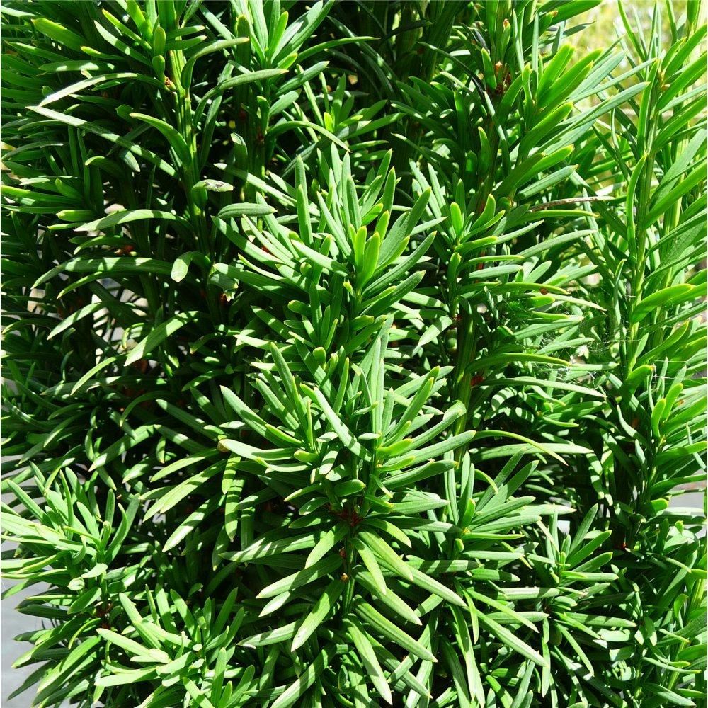 taxus baccata fastigiata irish yew tree. Black Bedroom Furniture Sets. Home Design Ideas