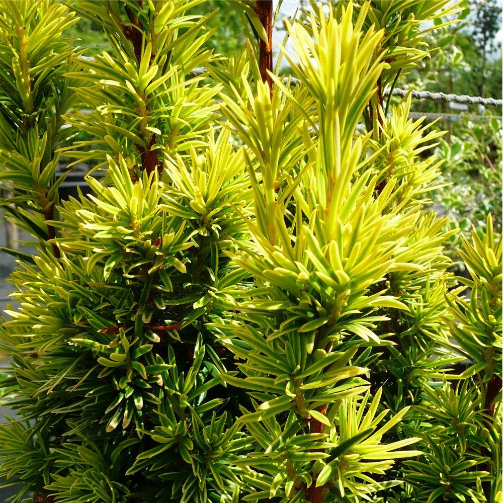 taxus baccata fastigiata aurea golden irish yew tree for. Black Bedroom Furniture Sets. Home Design Ideas