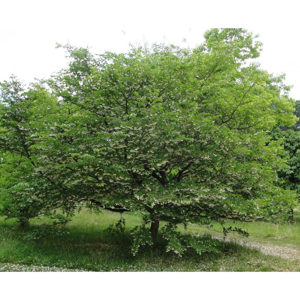 Small Ornamental Trees Nc: Ornamental Trees From Ornamental Trees