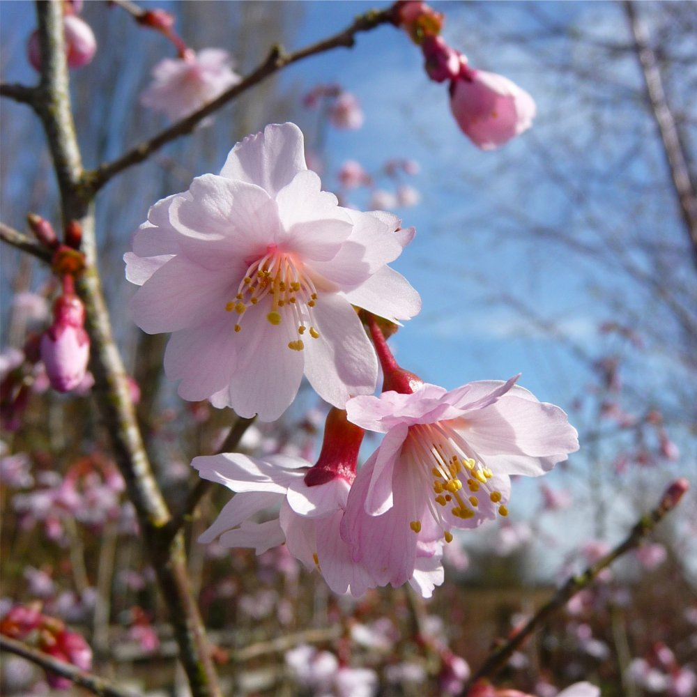 Prunus incisa mikinori tree fuji cherry trees for sale for Cherry trees for sale