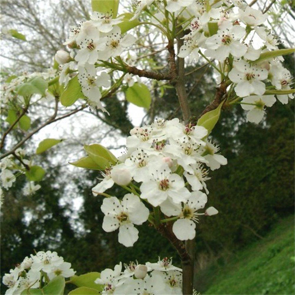 Pyrus calleryana Chanticleer | Ornamental Callery Pear Trees