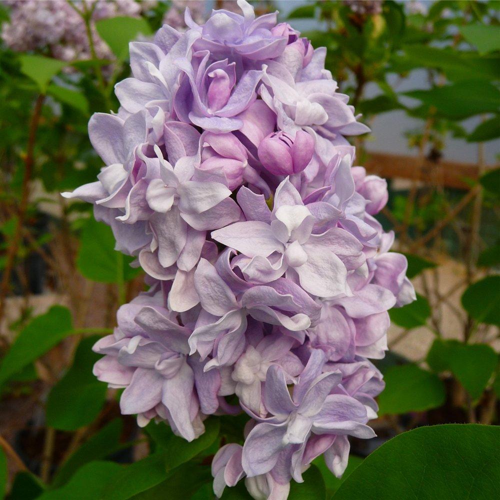 Syringa vulgaris katherine havemayer buy purple lilac trees for Syringa vulgaris