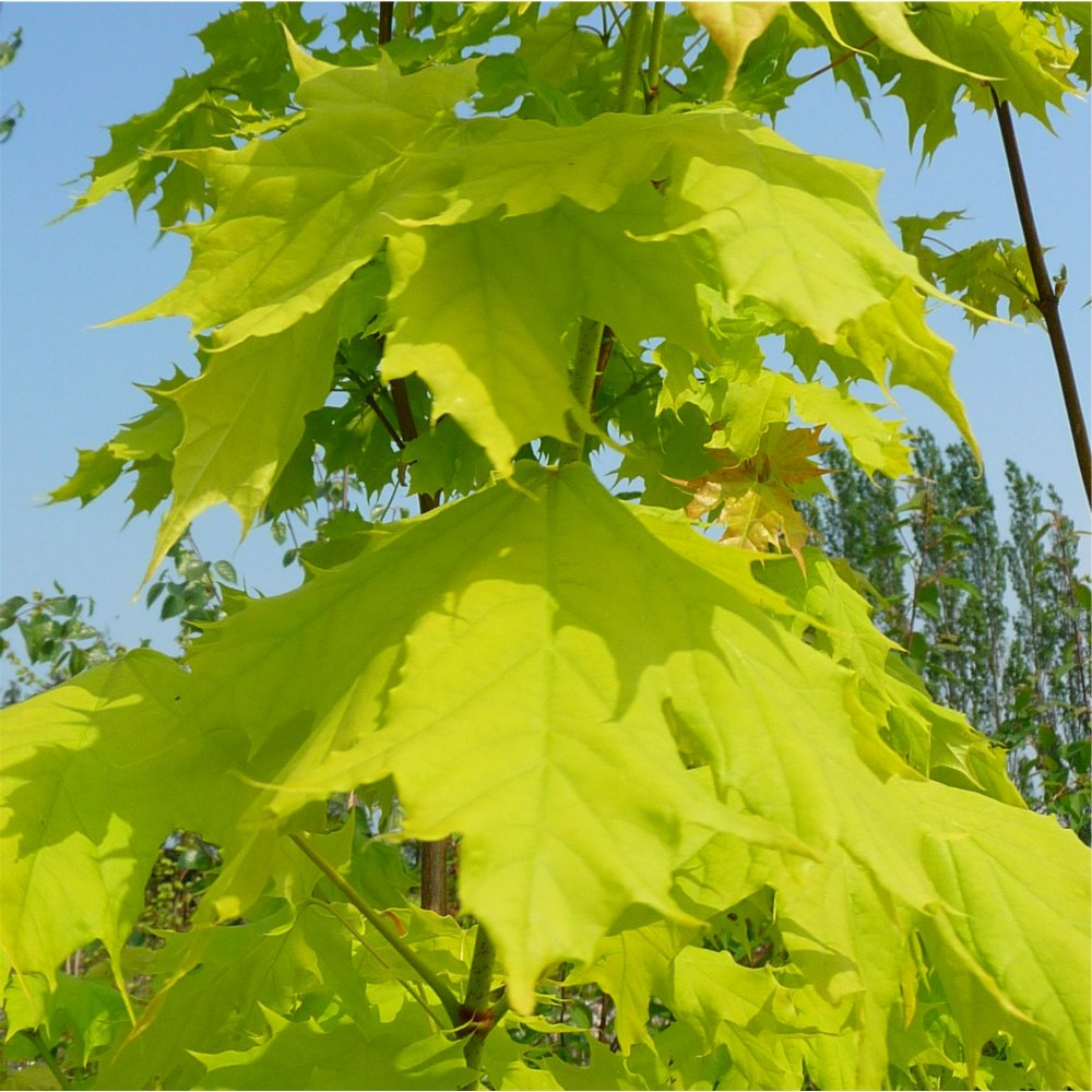 Acer Platanoides Princeton Gold Yellow Norway Maple - Norway maple uses