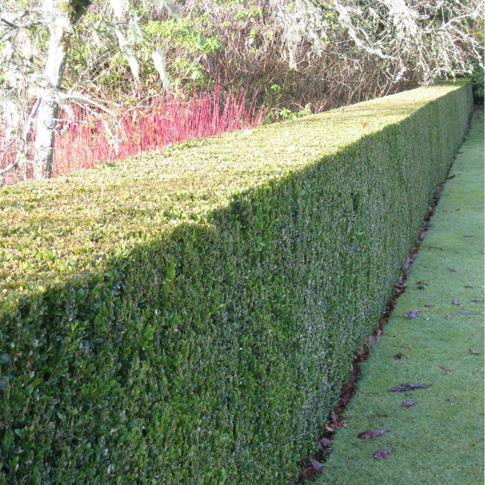 how to grow box hedge from cuttings