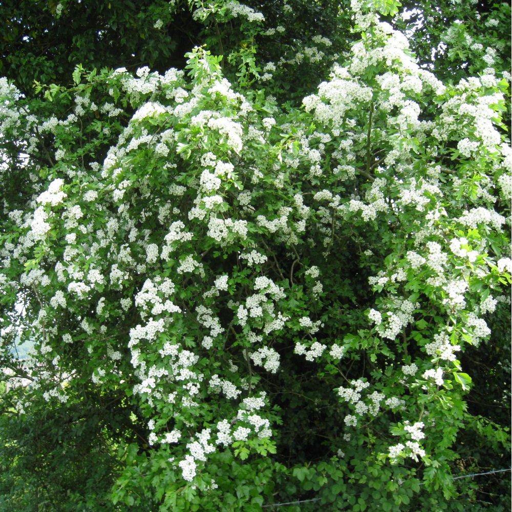 crataegus monogyna buy hawthorn hedging plants. Black Bedroom Furniture Sets. Home Design Ideas