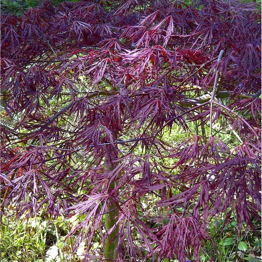 acer palmatum dissectum tamukeyama dwarf japanese maple trees. Black Bedroom Furniture Sets. Home Design Ideas