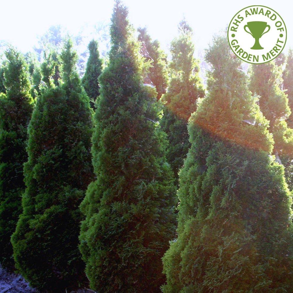 Ornamental evergreen trees - Thuja Occidentalis Holmstrup Conifer