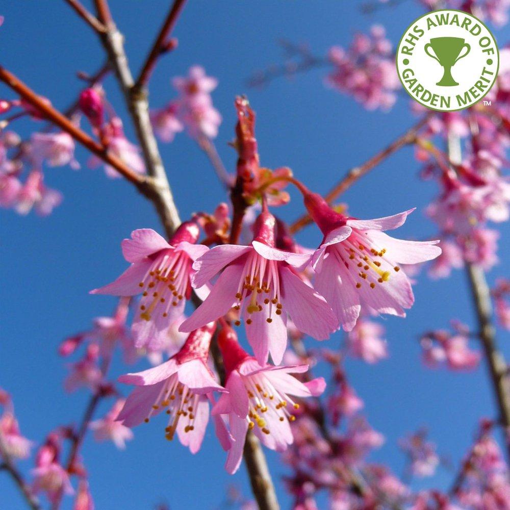 Prunus okame flowering cherry tree buy cherry blossom trees - Romanian cherry tree varieties ...