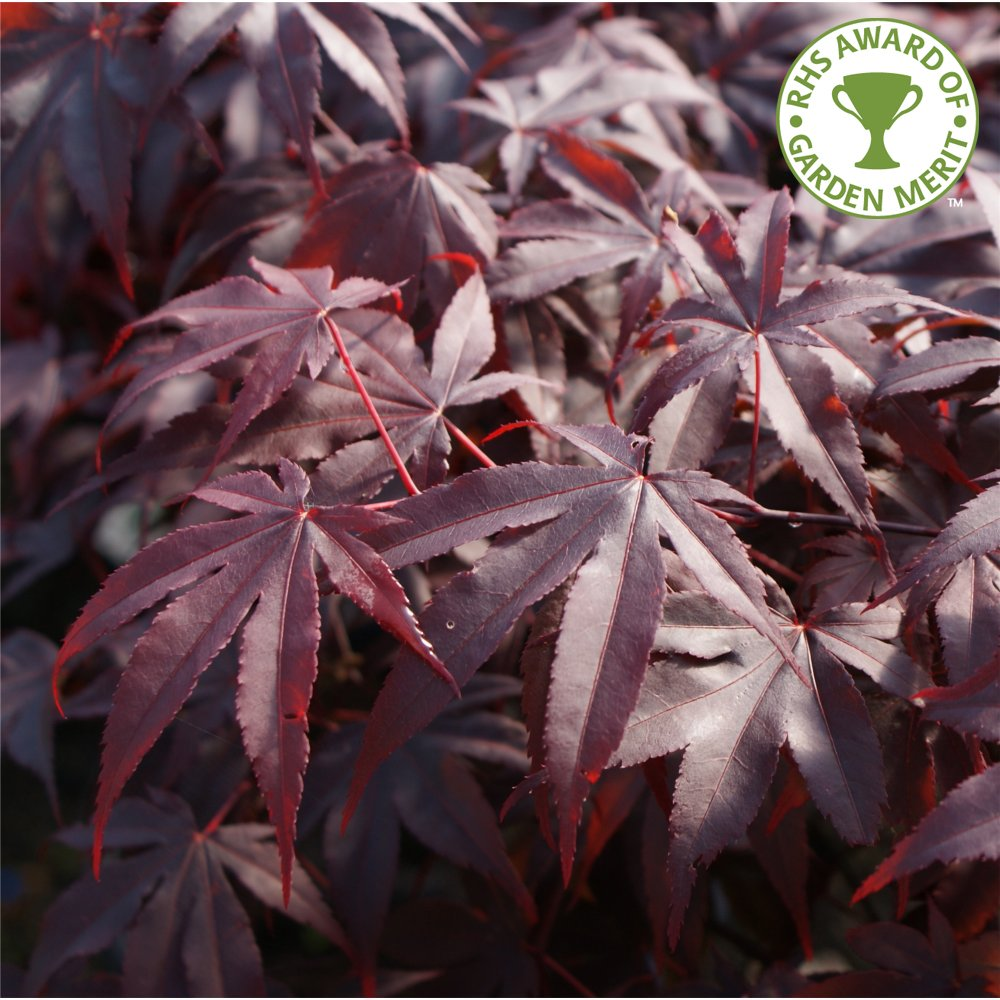 acer palmatum bloodgood buy purple japanese maple trees. Black Bedroom Furniture Sets. Home Design Ideas
