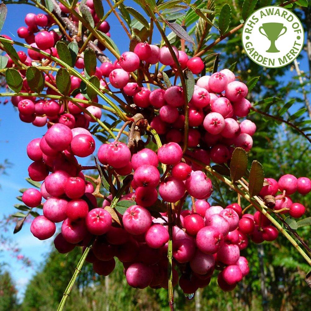 Sorbus vilmorinii buy vilmorins rowan trees online for Purchase trees