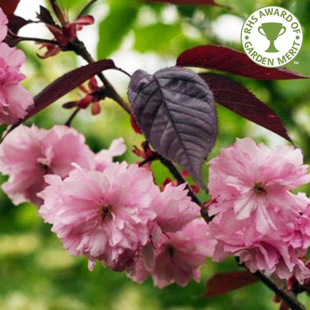 prunus royal burgundy buy flowering cherry blossom trees. Black Bedroom Furniture Sets. Home Design Ideas