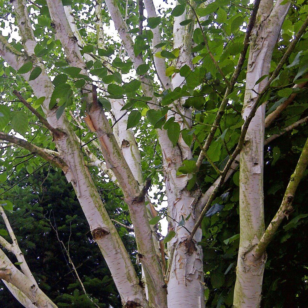 Multi stem betula utilis jacquemontii himalayan birch for Purchase trees