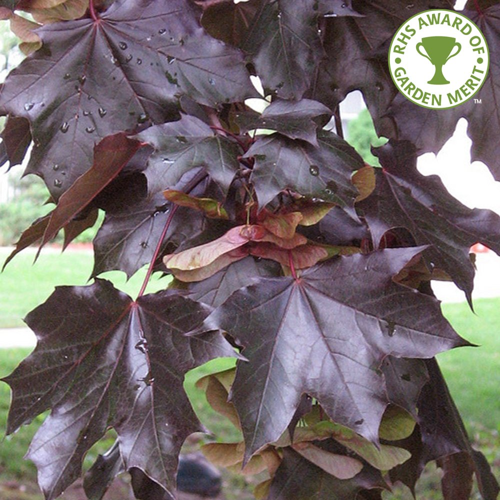 Acer Platanoides Crimson King Buy Purple Norway Maple Trees - Norway maple uses