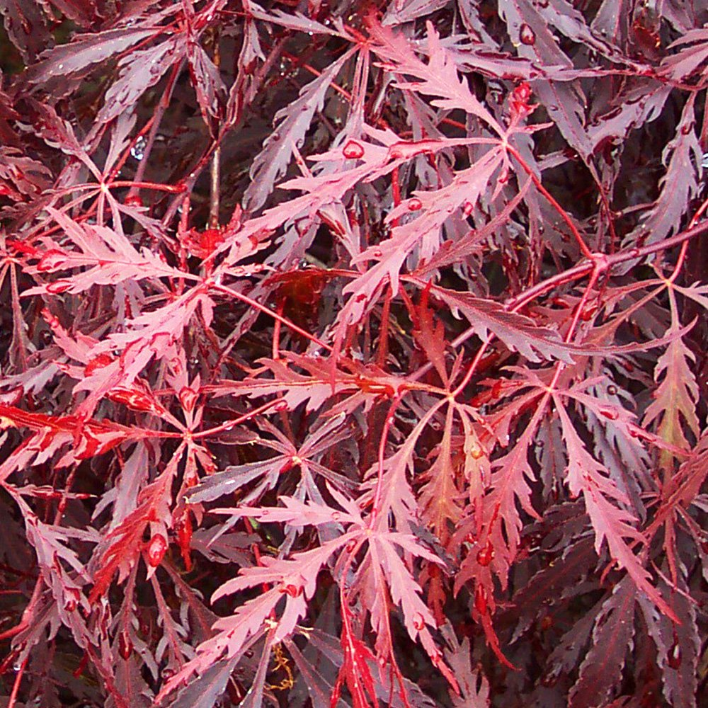 acer palmatum dissectum tamukeyama dwarf japanese maple trees. Black Bedroom Furniture Sets. Home Design Ideas