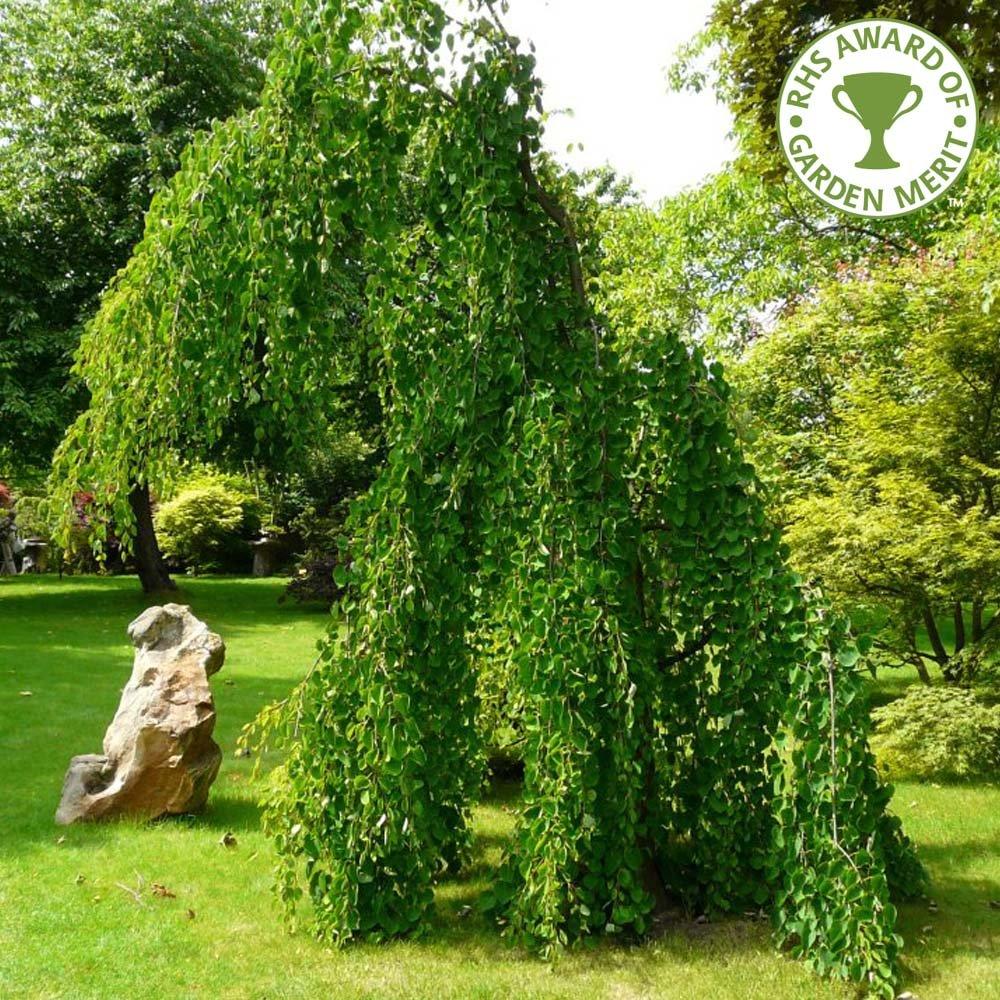 Cercidiphyllum japonicum pendulum weeping katsura trees for Small ornamental weeping trees