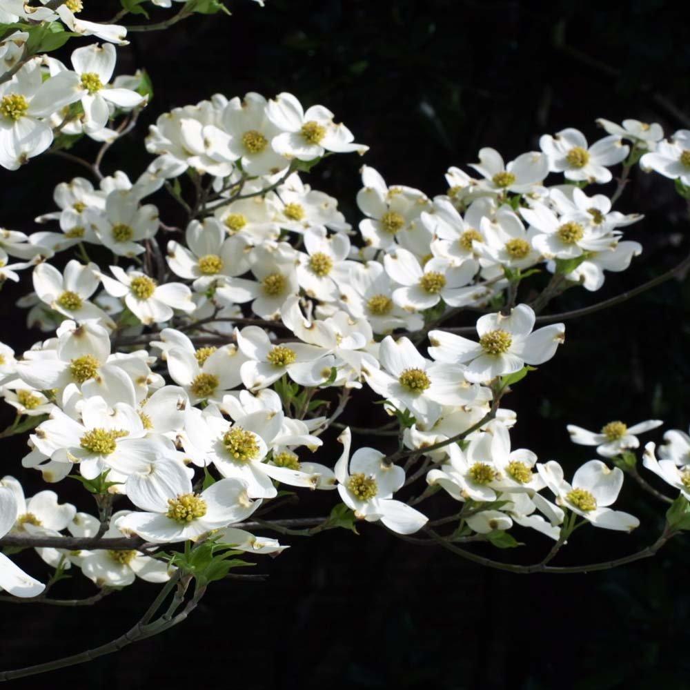 cornus florida buy white flowering dogwood trees shrubs. Black Bedroom Furniture Sets. Home Design Ideas
