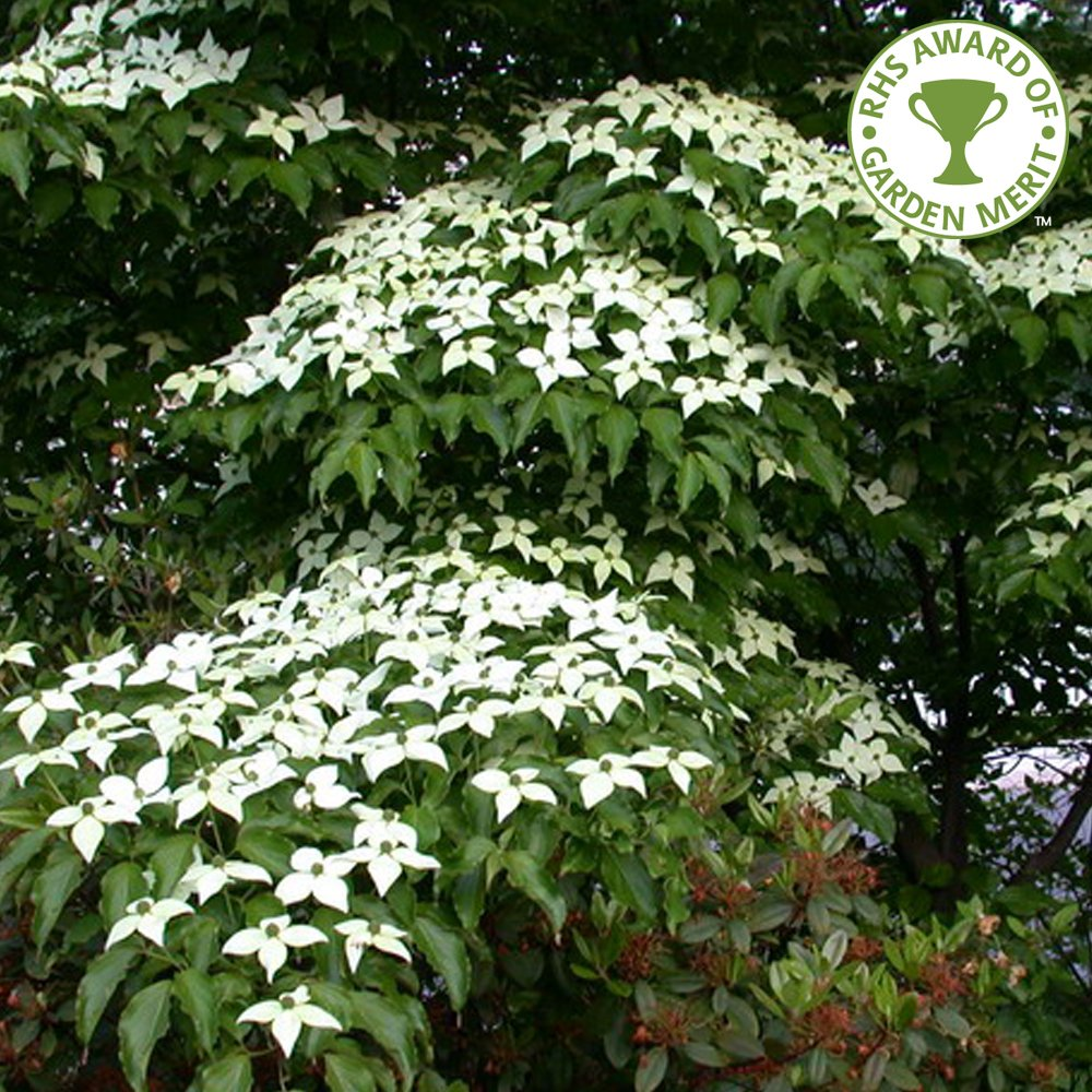 cornus kousa var chinensis white flowering chinese dogwood trees. Black Bedroom Furniture Sets. Home Design Ideas