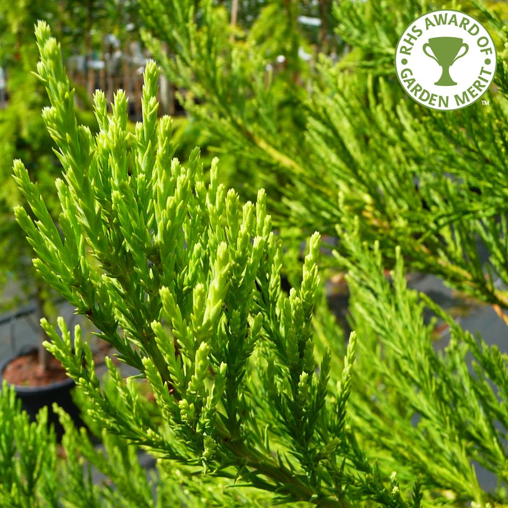 Small Ornamental Evergreen Trees: Sequoiadendron Giganteum