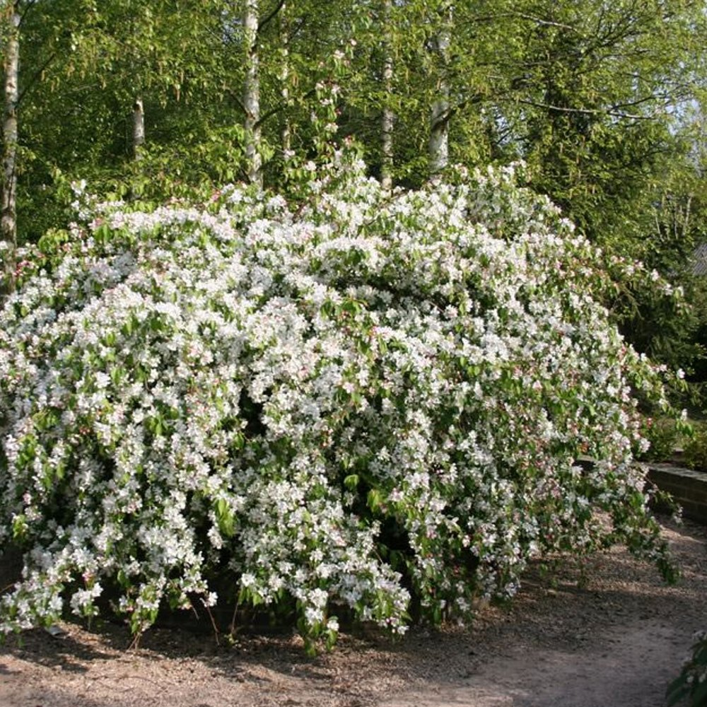 Dwarf weeping crabapple tree the image for Dwarf flowering trees