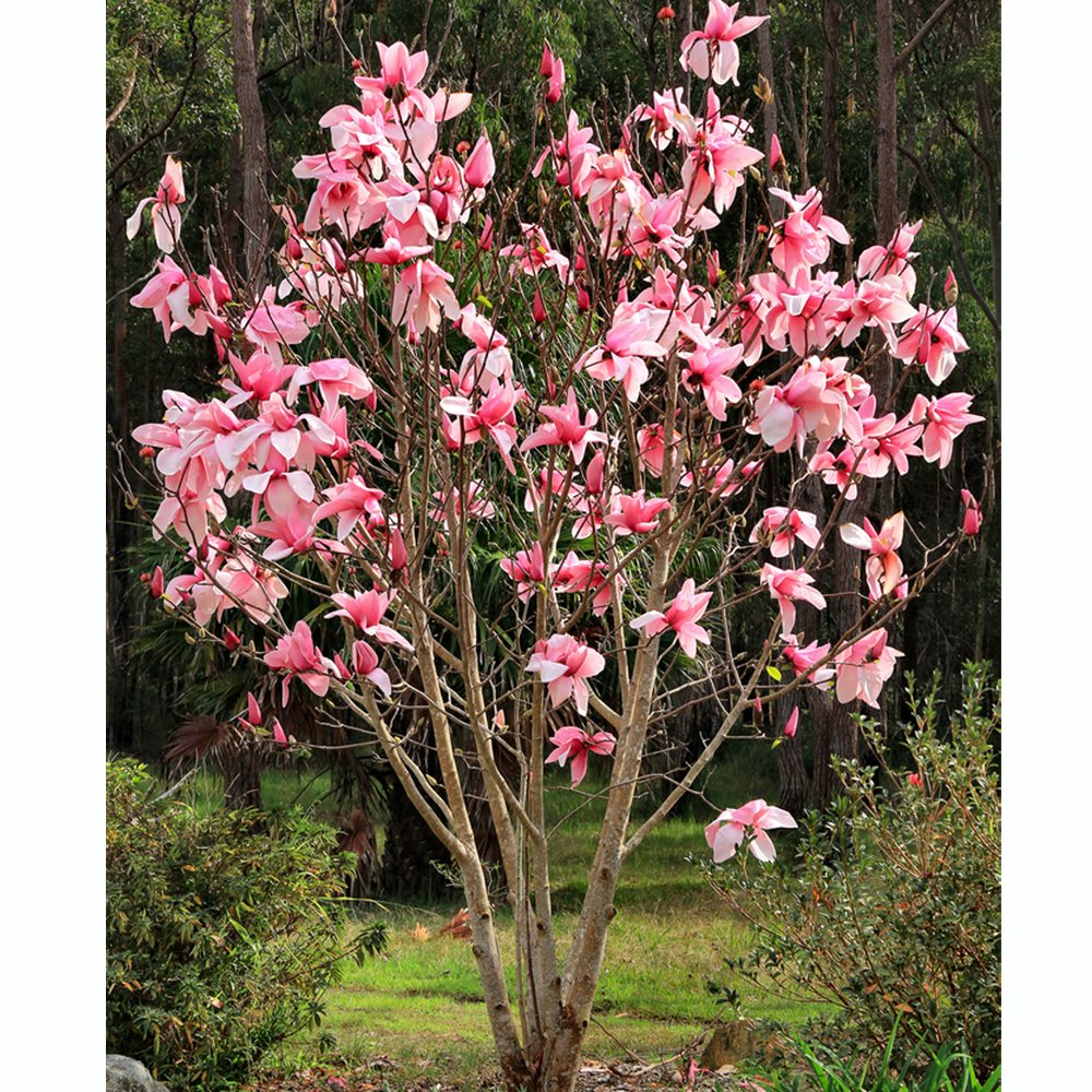 Magnolia Star Wars Buy Star Wars Magnolia Buy Pink