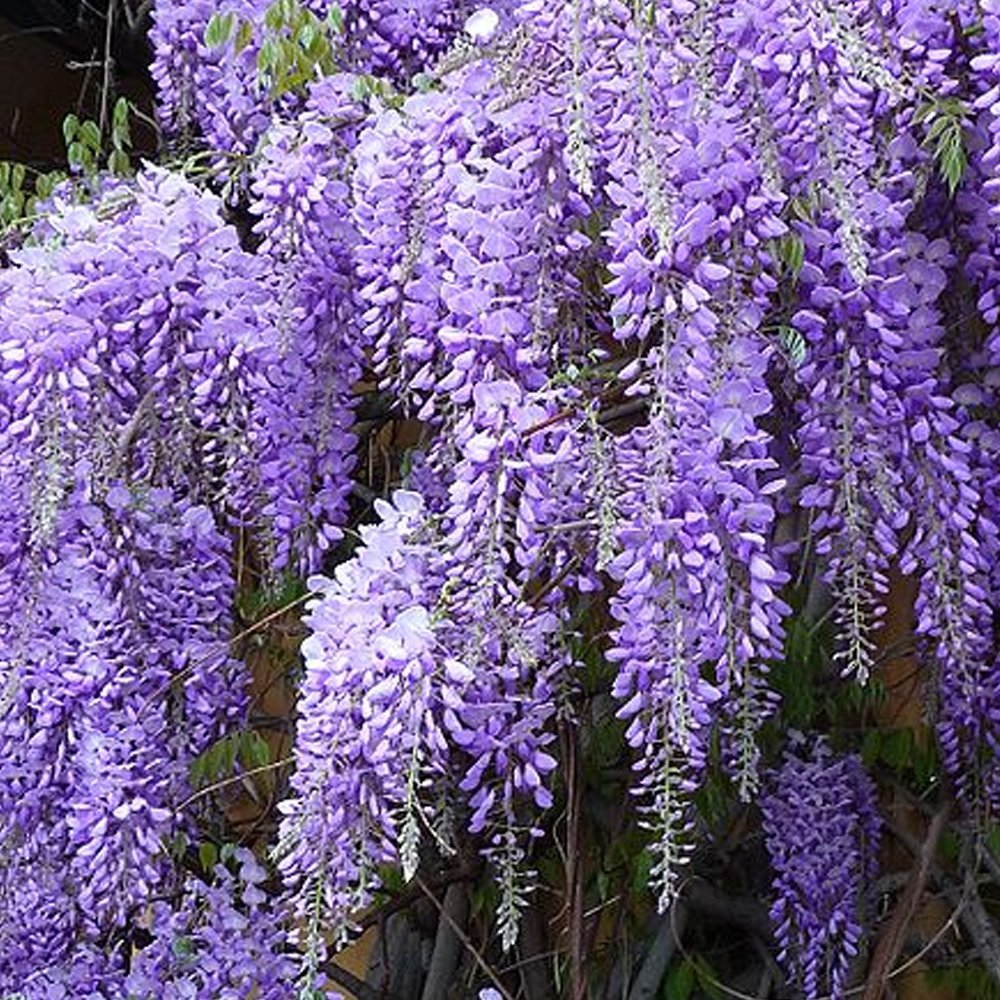Wisteria sinensis prolific buy chinese blue wisteria trees for The wisteria